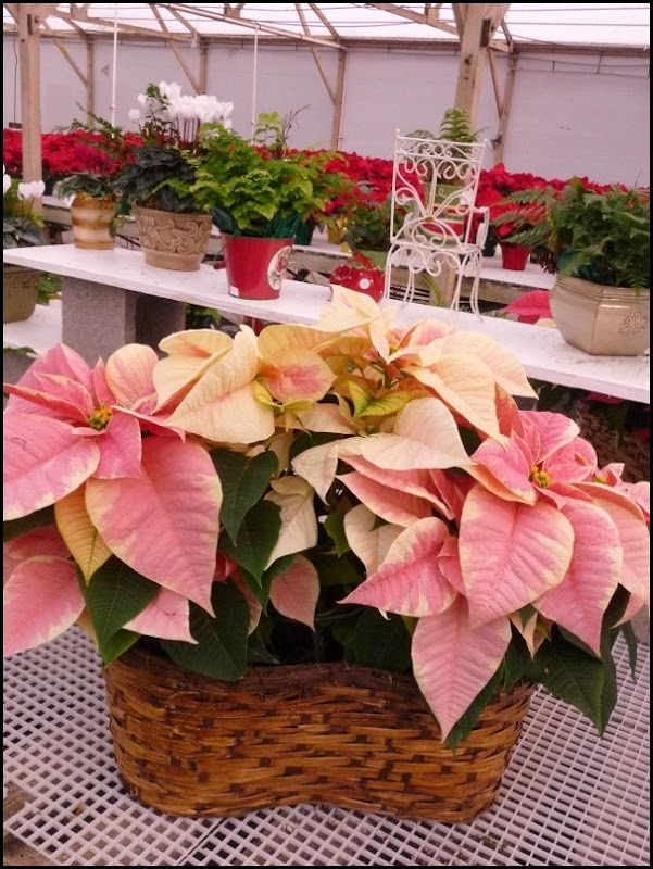 poinsettia farm2011 004 (600x800)