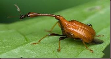 Amazing Pictures of Animals, photo, Nature, exotic, funny, incredibel, Zoo, Giraffe weevil, Insecta, Alex (4)