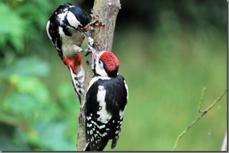 Female Great Spotted Woodpecker feeding juvenile (low res png) 2