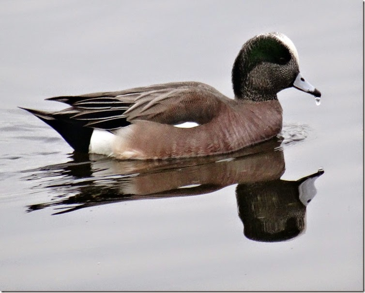 seattle widgeon 021314 00001