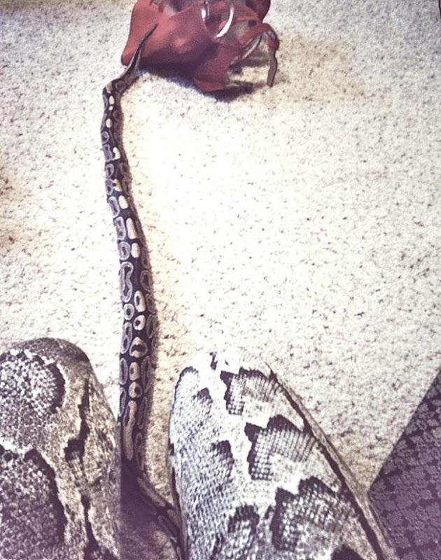 pythonaisha