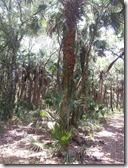 Grassy Palm