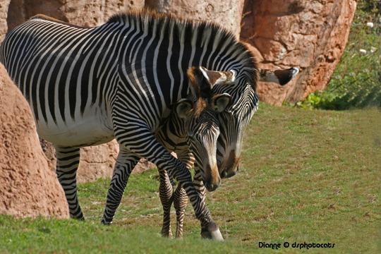 Hug A Zebra Day