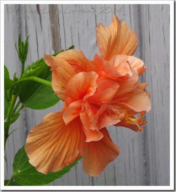 03-28-hibiscus