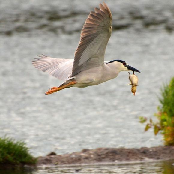 bird-duckling_2044680i