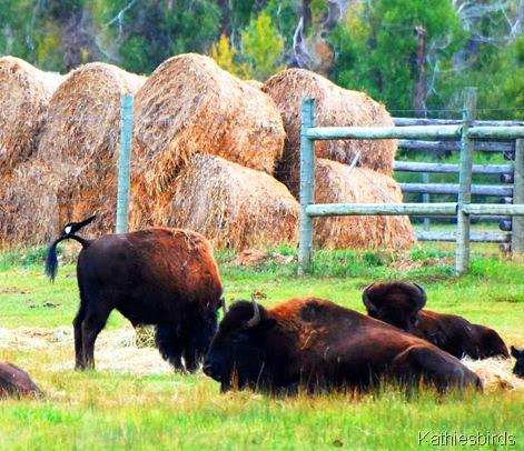 3. bison-kab