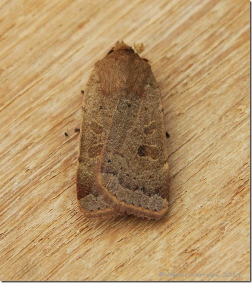 Lesser-yellow-underwing