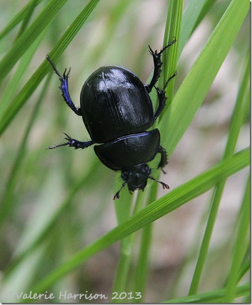 14-Dor-Beetle