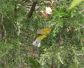 Now we are at the Northwood Center of CMBO - with a VERY cooperative Prairie Warbler. Notice the white edges of the tail