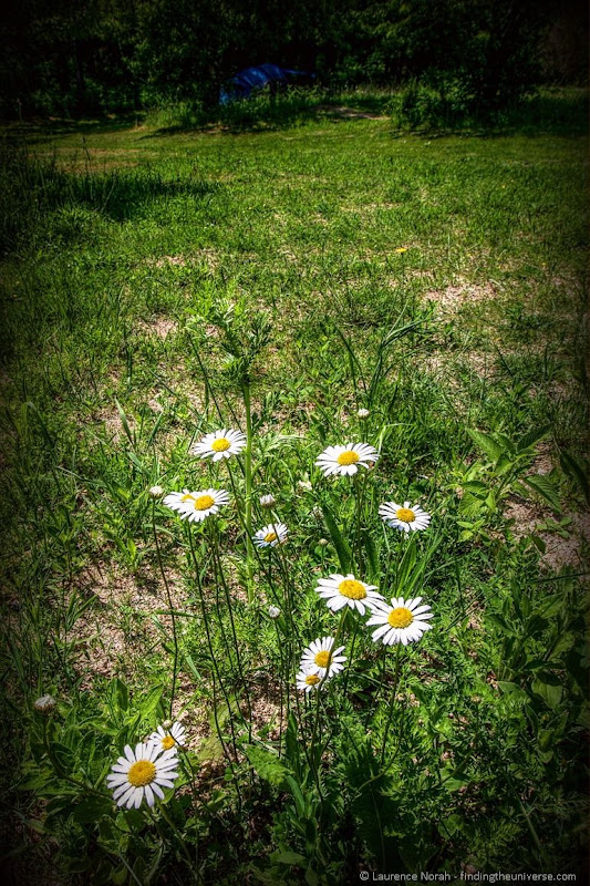 Daisies camping