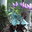 Cyclamen-purpurascens-Alpenveilchen.jpg