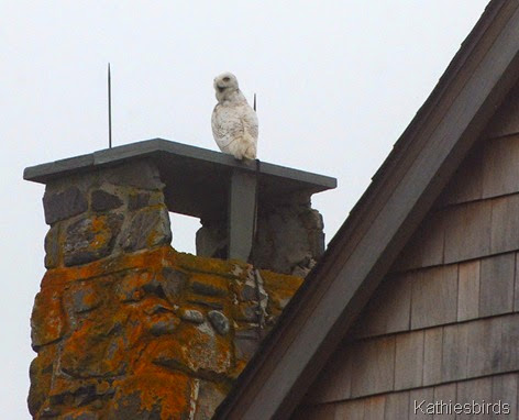1. snowy owl-kab