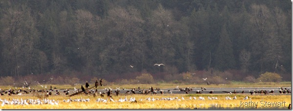 Eagles and Gulls on the flats