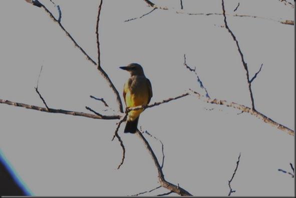 07-01-12 western kingbird 01