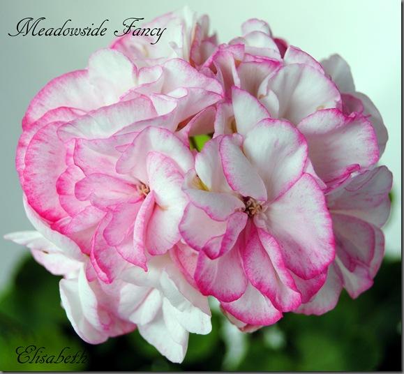 Pelargonium juni-11 039
