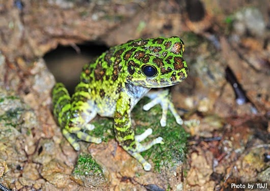 Amazing Pictures of Animals, Photo, Nature, Incredibel, Funny, Zoo, Ishikawa's frog, Odorrana ishikawae, Amphibia, Alex (1)