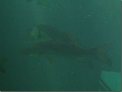snook from the viewing area