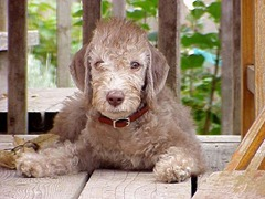 BedlingtonTerrierLiver Puppy1