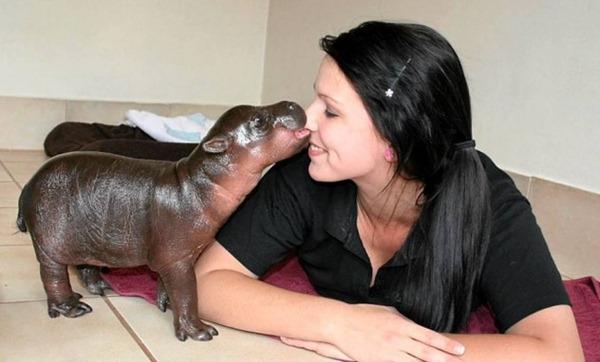 Baby-Pygmy-Hippo-08-632x383