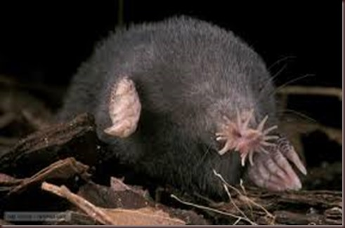 Amazing Animal Pictures Star Nosed Mole (7)