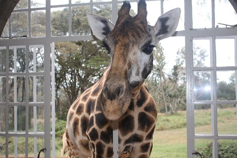 giraffe-manor-7