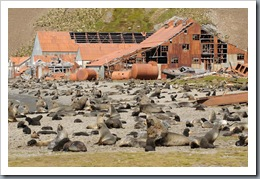 Fur Seals at Stromness whaling station
