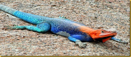 Foto Galapagos Lizard Lucertola