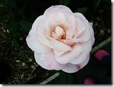 ws pink rose