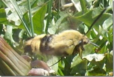 hummingbirdmoth4