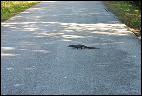 01b4 - Alligator - Little Alligator