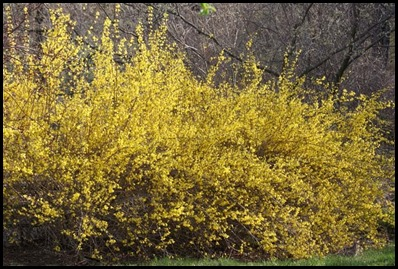 Forsythia shubs