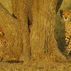 Geparden, Tansania © Foto: Wild Frontiers