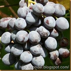 Сорт винограда Кардинал 1