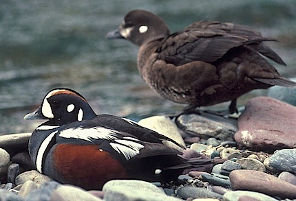 Harlequin Duck NPS