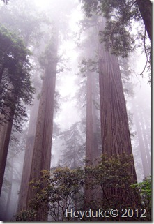 Redwoods Northern Cali