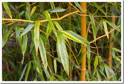 120427_FoothillBG_Phyllostachys-bambusoides-Allgold_04