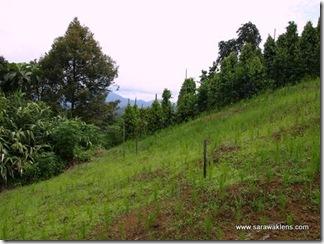 hill_paddy_planting_sarawak_padi_bukit1