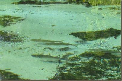 fish on Weeki Wachee River