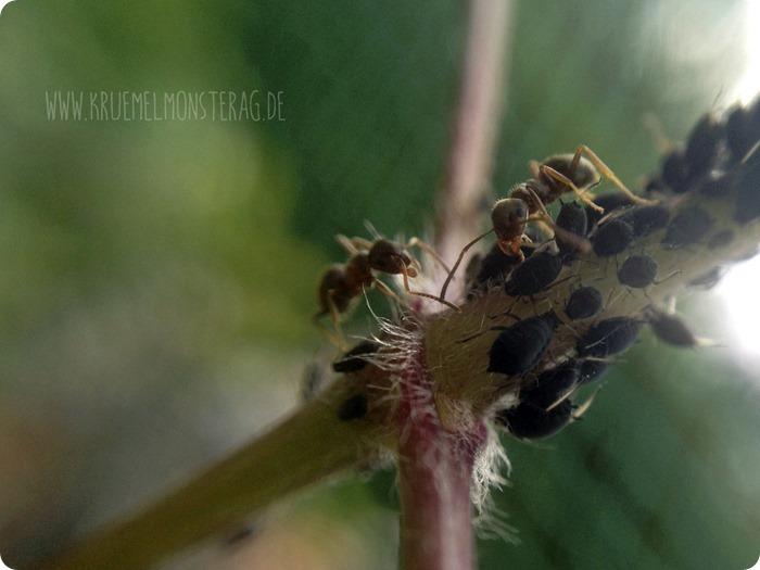 Camponotus ligniperda Part 2  MakroMontag (01)