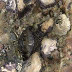 Seepocken, Austern und Käferschnecke
