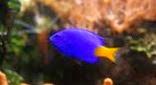 Biodiversité demoiselle bleue à queue jaune