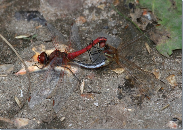 red-veined_darter_pr