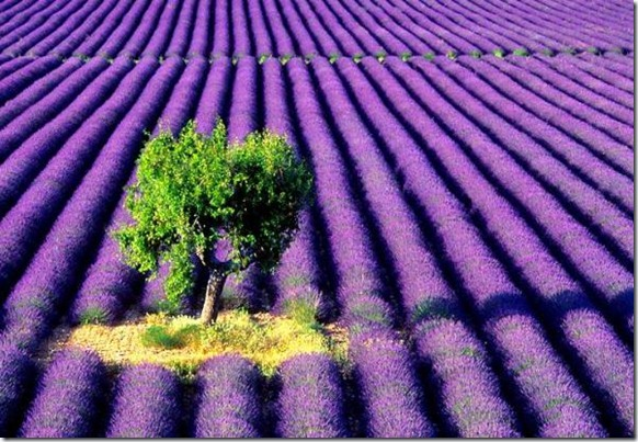 lavender-farm-tree