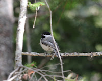 Adorable Black-capped Chickadee