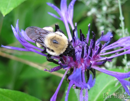 Bee on the Centaurea Montana Blue