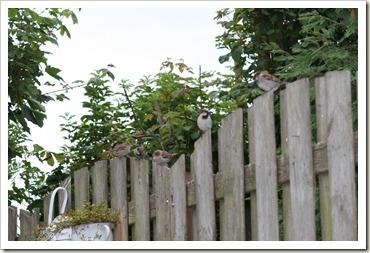 vogels in de tuin 003