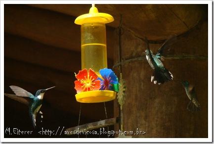 Alimentador para beija-flor. Beija-flor-de-papo-branco (Leucochloris albicollis) em primeiro plano. Foto:M.Eiterer