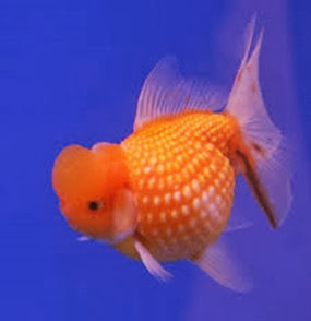 Amazing Pictures of Animals, Photo, Nature, Incredibel, Funny, Zoo, Ranchu, Goldfish, Alex (11)