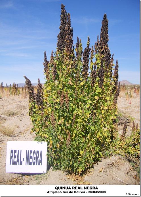 Quinua Real Negra-Altiplano Sur de Boliva-G. Vásquez-Laquinua.blogspot.com