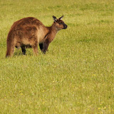 A Black Kangaroo On Kangaroo Island - Adelaide, Australia